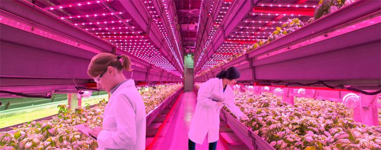 Cultivo indoor para controle de qualidade, desenvolvimento controlador e melhoria genética usando lâmpadas Grow